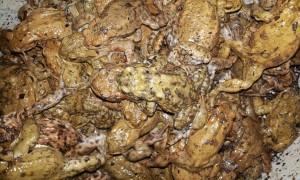gerettete Erdkröten