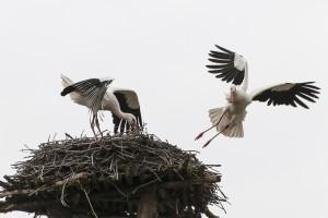 Das Hambrücker Storchenpaar 2014