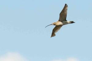 Der Große Brachvogel in der Saalbachniederung