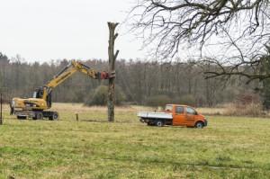 Errichtung des neuen Horstbaumes in den Hambrücker Wiesen
