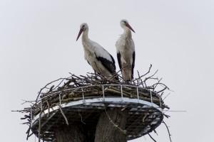 Storchenpaarin Hambrücken auf neuem Horstbaum