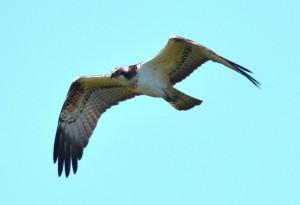 Fischadler auf dem Durchzug in der Saalbachniederung Foto: Werner Debatin