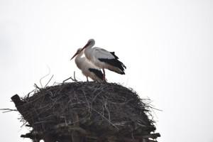 Storchenpaar in der Saalbachniederung