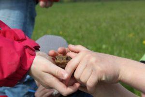 Eine Erdkröte wird zum Forschungsobjekt.
