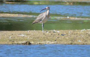 Großer Brachvogel im NABU-Feuchtgebiet